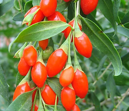 Fruits-of-Chinese-wolfberry