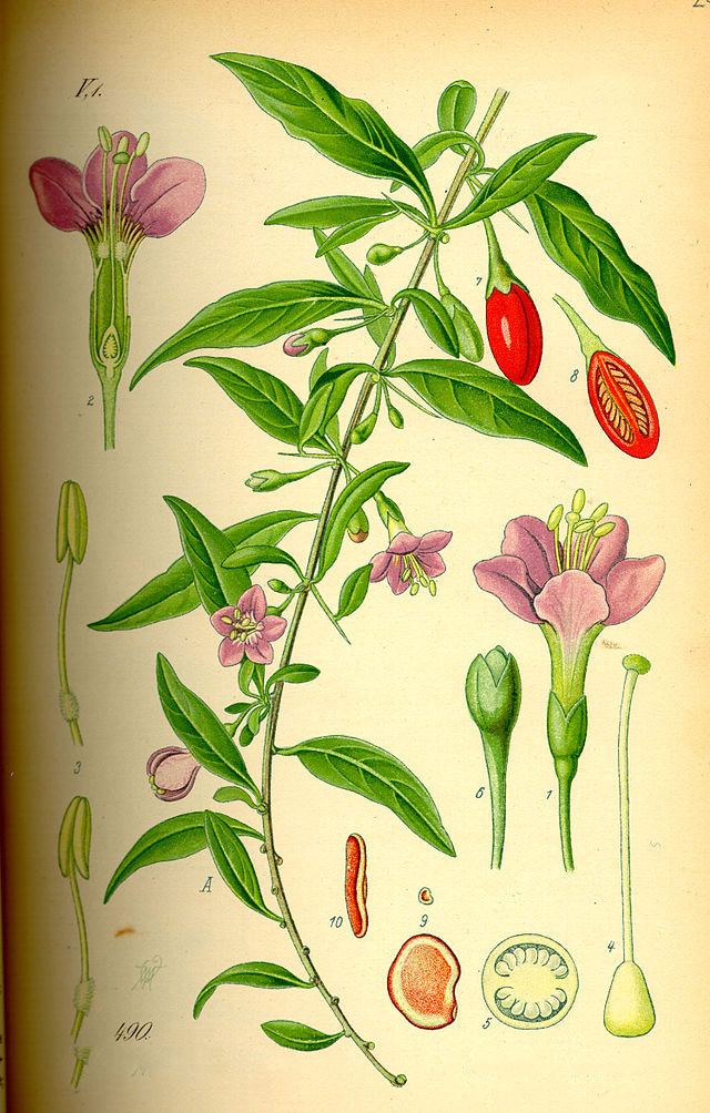 Plant-Illustration-of-Chinese-wolfberry