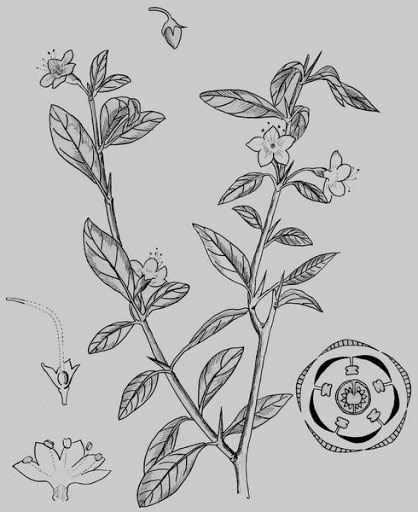 Sketch-of-Chinese-wolfberry