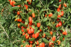 Chinese-wolfberry-plant