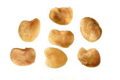 Seeds-of-Chinese-wolfberry