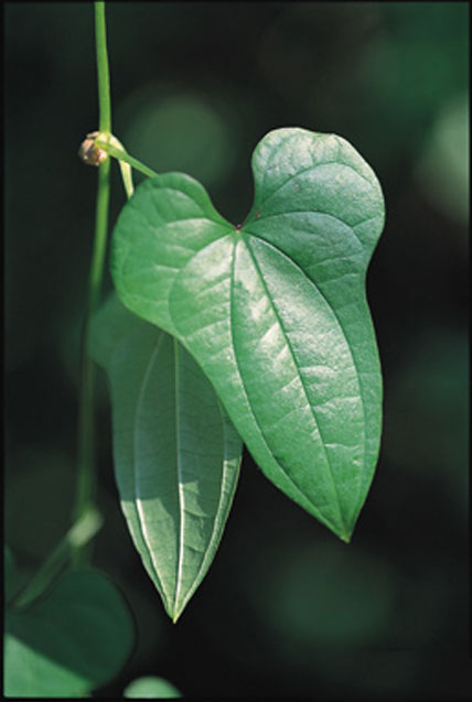 Leaves-of-Chinese-Yam