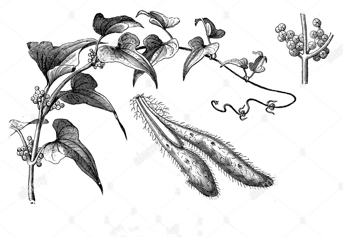 Plant-Illustration-of-Chinese-Yam