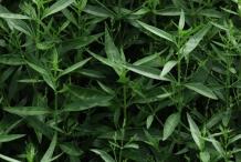 Chiretta--herb