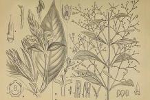 Plant-Illustration-of-Chiretta