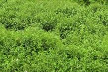 Chiretta-plant-growing-wild