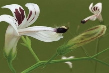 Closer-view-of-Flower-of-Chiretta