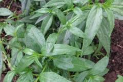 Chiretta-Plant