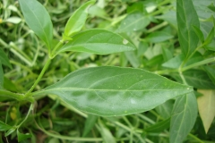 Leaves-of-Chiretta