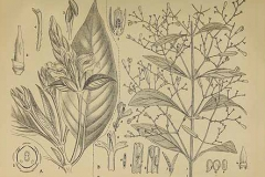 Plant-Illustration-of-Chiretta