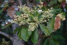 Flowers-of-Chironji