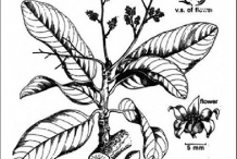 Plant-Illustration-of-Chironji