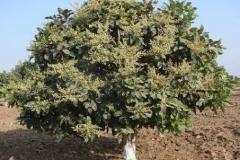 Chironji-plant