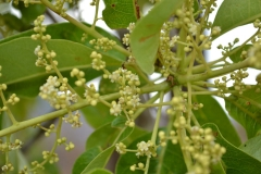 Flowering-stem-of-Chironji