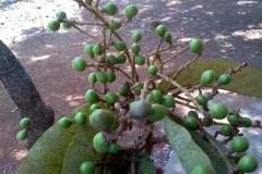 Immature-Chironji-fruits