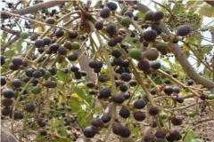 Mature-fruits-of-Chironji