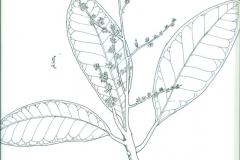 Sketch-of-Chironji