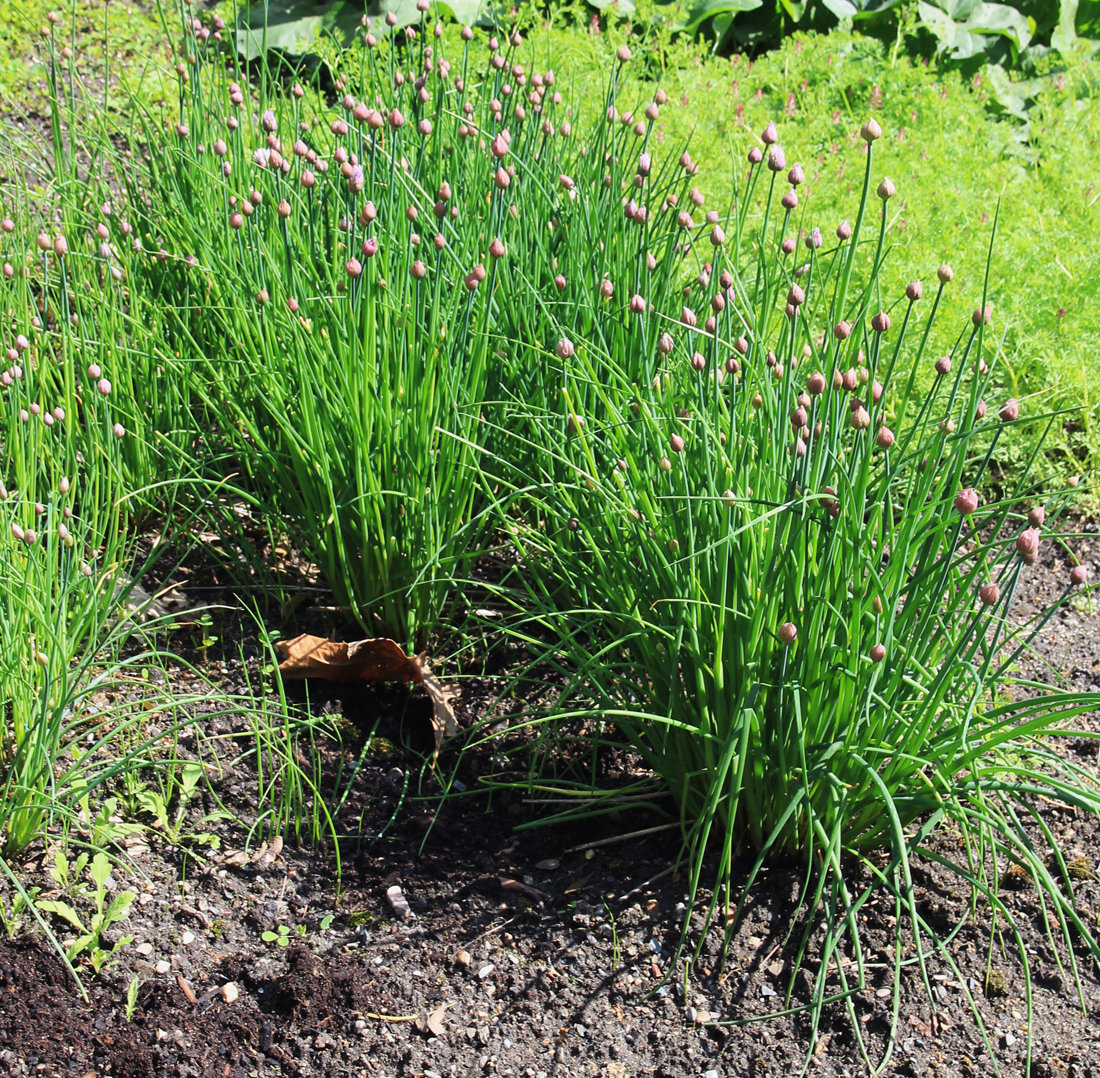 Chives-plant