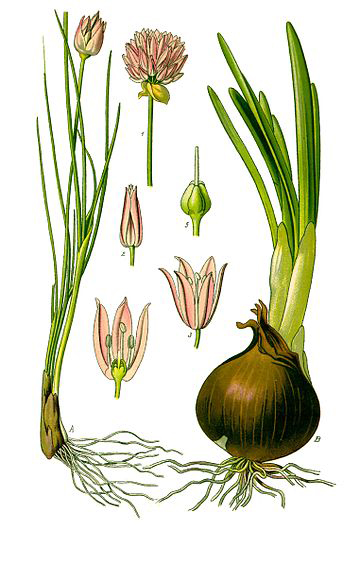 Plant-illustration-of-Chives