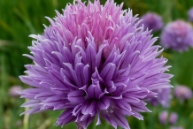 Close-up-flower-of-Chives