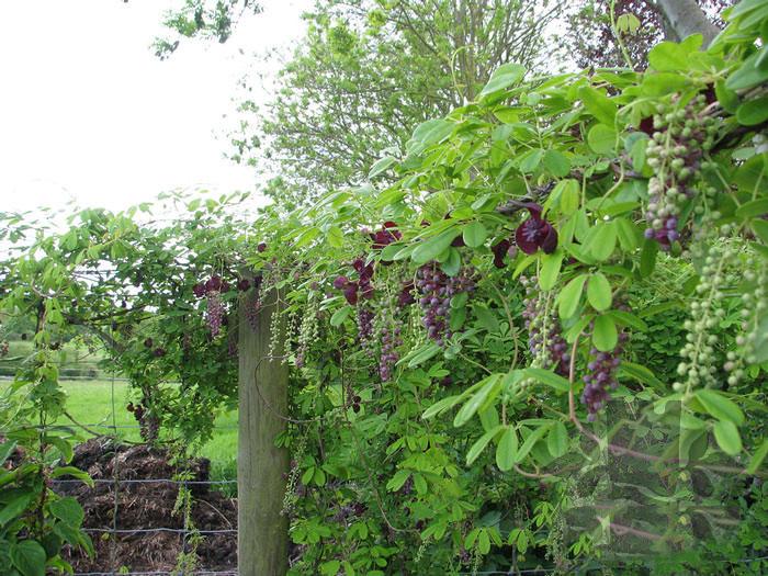 Chocolate-vine-plant