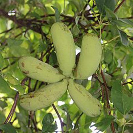 Immature-fruits-of-Chocolate-vine