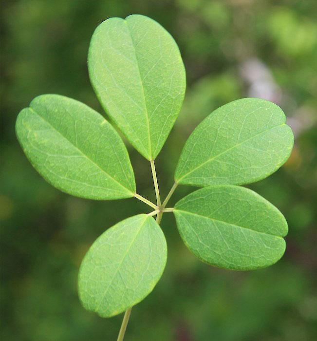Leaves-of-Chocolate-vine