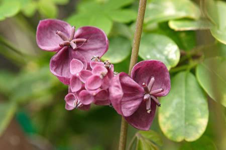 Male-and-female-flowers-of-Chocolate-vine
