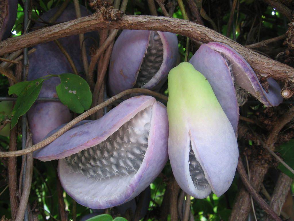 Mature-Chocolate-vine-on-the-plant