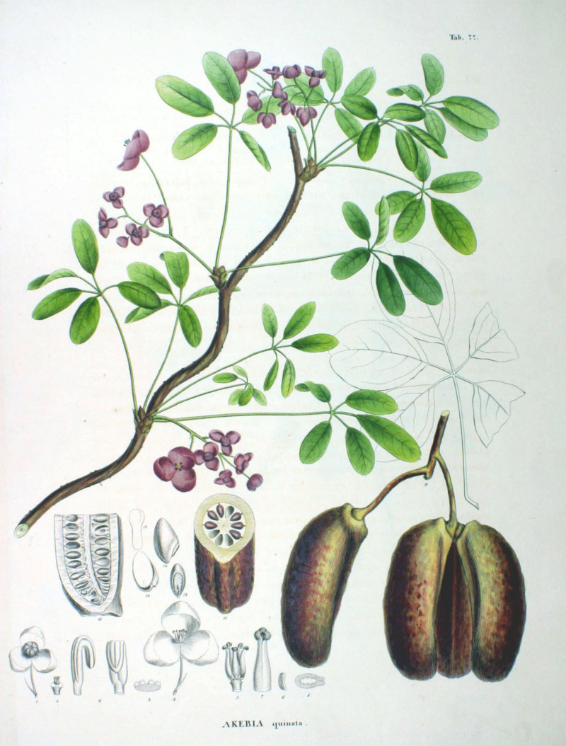 Plant-Illustration-of-Chocolate-vine