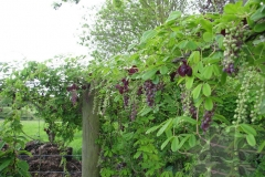 Chocolate-vine-plant