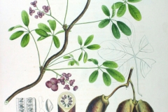 Plant-Illustration-of-Chocolate-vine