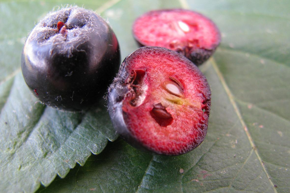 Chokeberry-cut