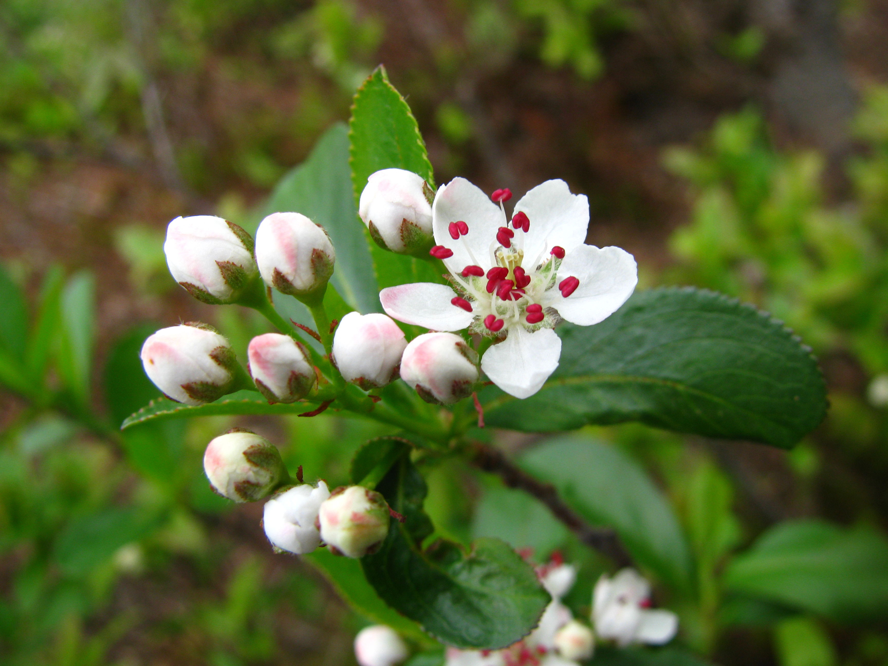 Chokeberry-flower-buds