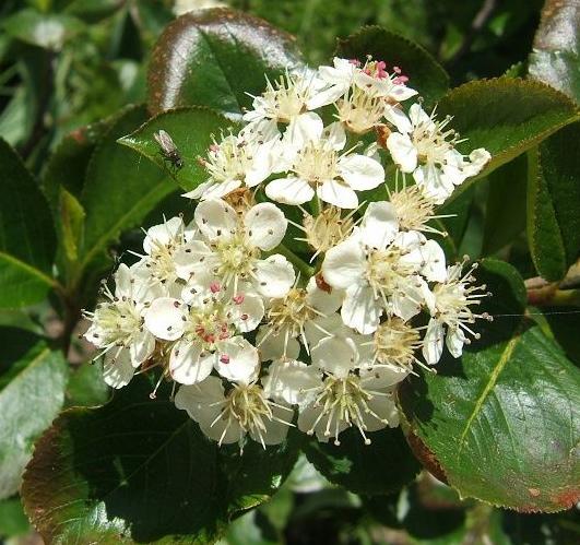 Chokeberry-flowers