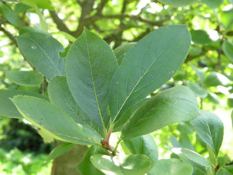 Chokeberry-leaves