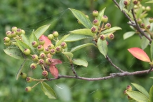 Chokeberry-unripe-fruits