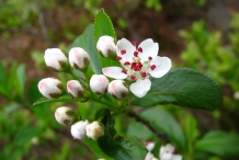 Chokeberry-flower-buds