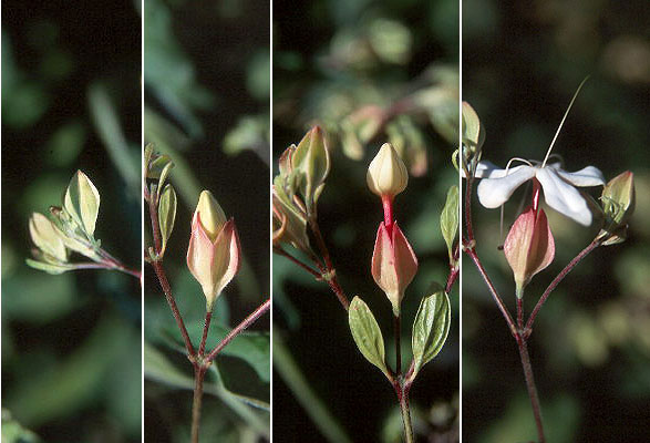 Chou-Wu-Tong-Flower-opening-from-bud