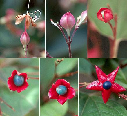Development-of-fruit-of-Chou-Wu-Tong