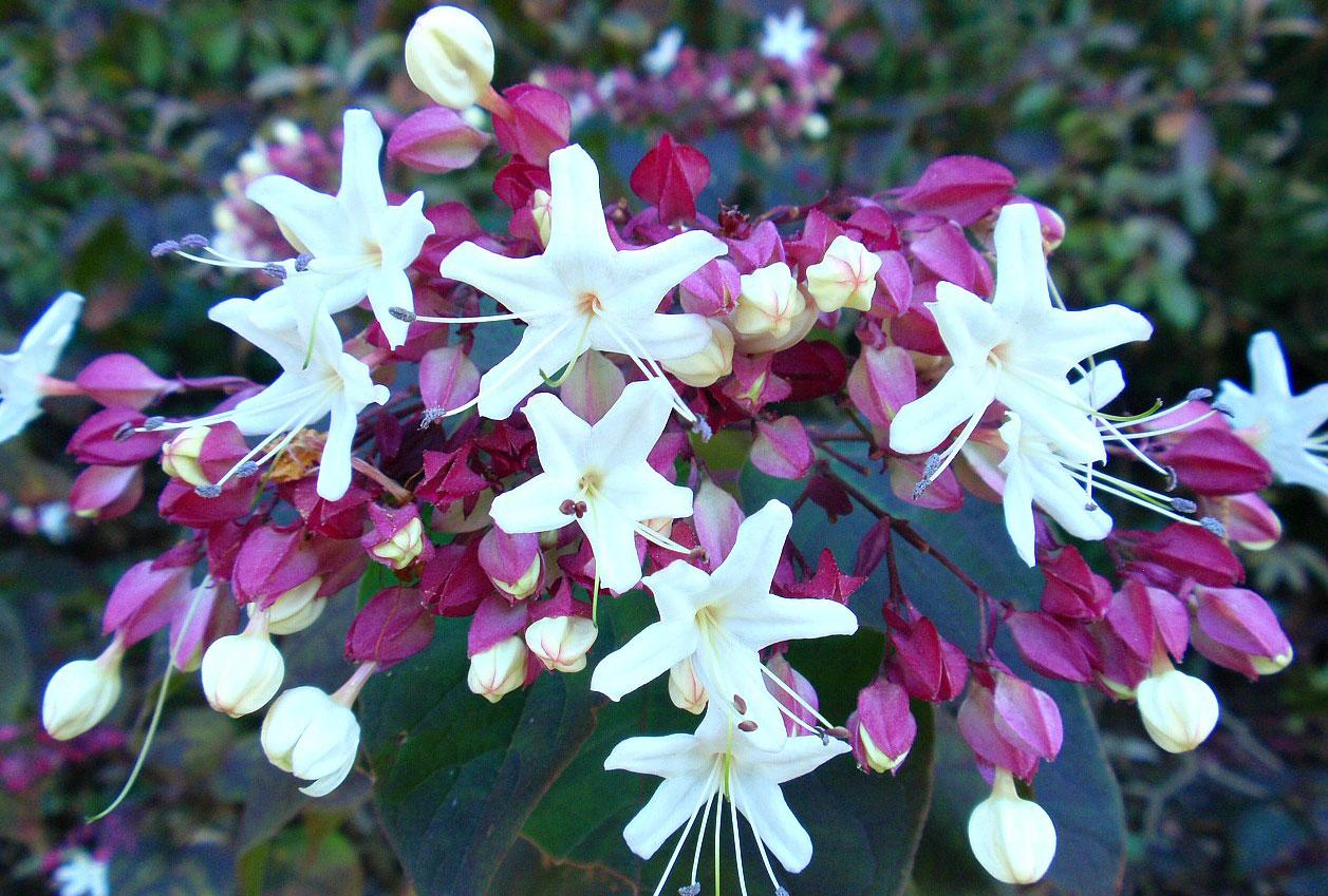 Flowers-of-Chou-Wu-Tong
