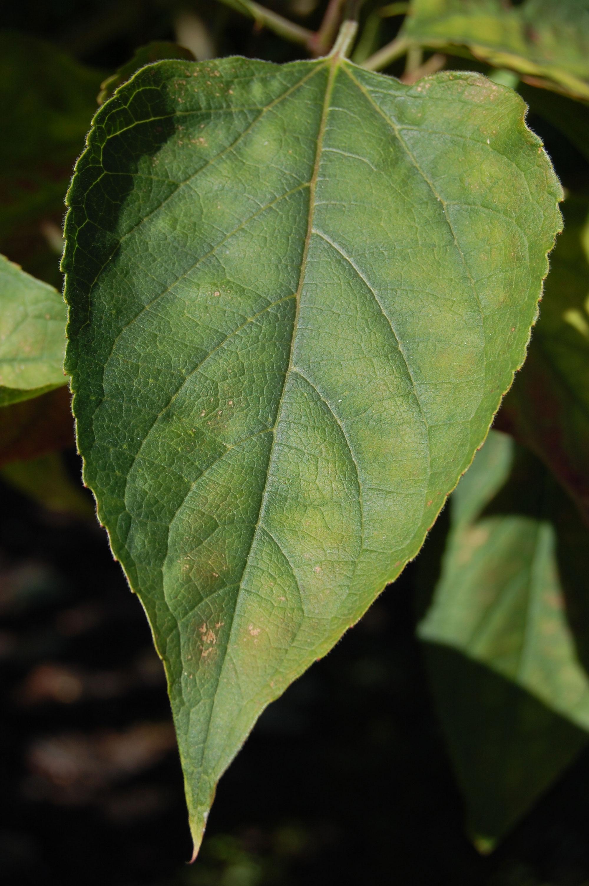 Leaf-of-Chou-Wu-Tong