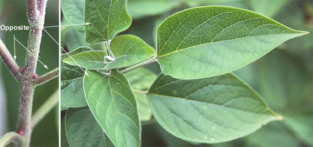 Young-Leaves-of-Chou-Wu-Tong
