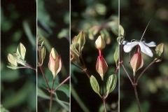 Chou-Wu-Tong-Flower-opening-from-bud