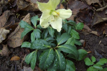 Christmas-Rose-Plant