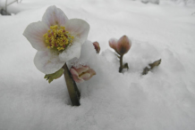 Christmas-Rose-plant--on-snow
