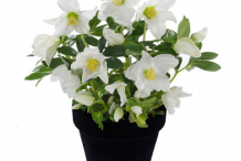 Christmas-rose-plant-on-the-pot