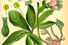 Plant-Illustration-of-Christmas-Rose-plant