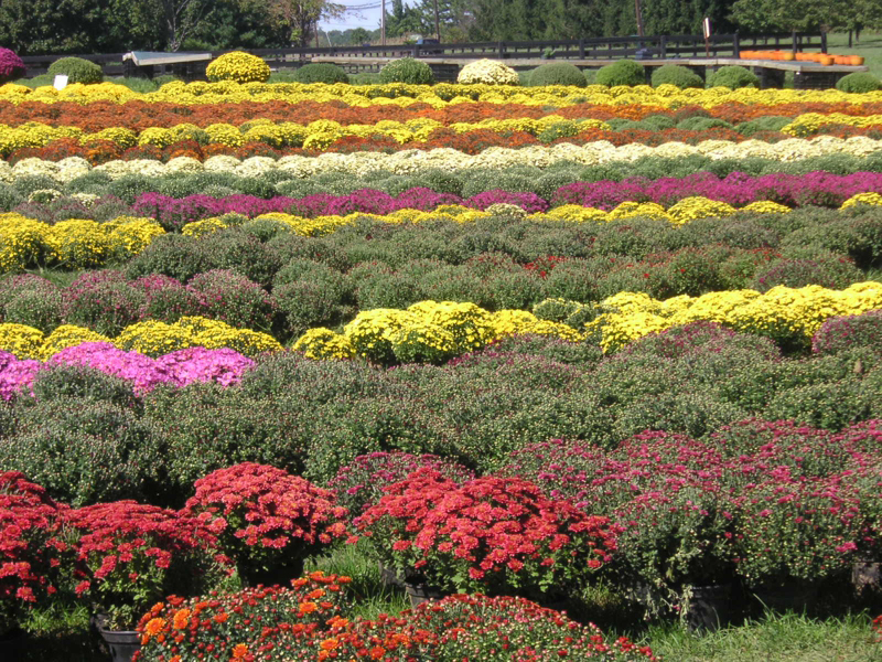 Chrysanthemum-farm