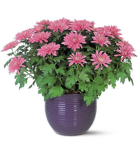 Chrysanthemum-plant